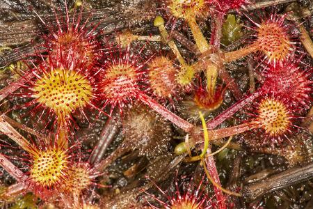 ラウンド leaved 湖 Sunapee 山ニューハンプシャー州ニューベリーのビッグアイランドで、ドローズラ rotundifolia フラット、