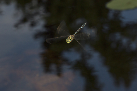 Subarctic darner dragonfly, Aeshna subarctica, in flight over Lake Solitude on Mt. Sunapee in Newbury, New Hampshire.