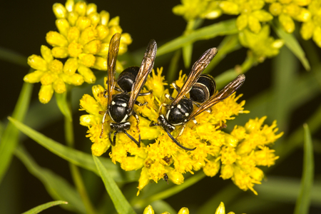 Pair of bald faced hornets, Dolichovespula maculata, on yellow flowers at Lake Solitude on Mt. Sunapee in Newbury, New Hampshire. Banque d'images