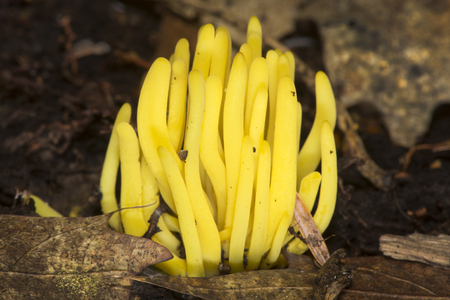 Golden spindles coral fungus, Clavulinopsis fusiformis, at Mud Pond in Sunapee, New Hampshire.