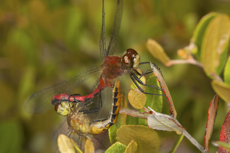 Pair of white-faced meadowhawk dragonflies, Sympetrum sp., perched together on a branch at Lake Solitude on Mt. Sunapee in Newbury, New Hampshire.