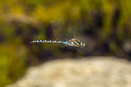 Subarctic darner dragonfly, Aeshna subarctica, flying in the bog at Lake Solitude on Mt. Sunapee in Newbury, New Hampshire.
