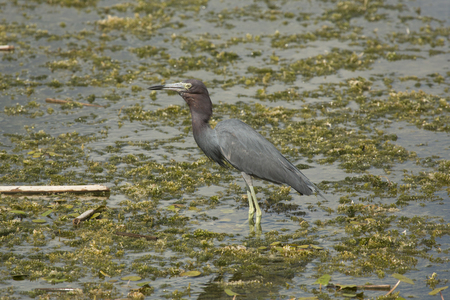 Little blue heron, Egretta caerulea, standing in the water swallowing a big crawfish at Orlando Wetlands Park in Christmas, Florida.