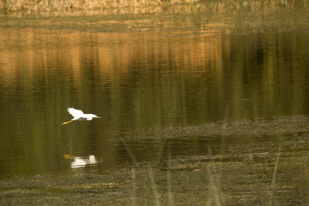Great egret, Ardea alba, gliding over a swamp with wings outspread at Orlando Wetlands Park in Christmas, Florida.