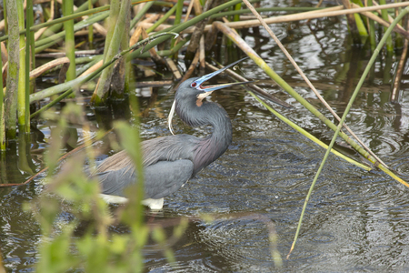 Tricolored heron, Egretta tricolor, standing in the water tossing a small fish with its bill at Orlando Wetlands Park in Christmas, Florida. Stock Photo