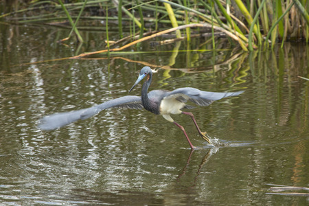 Tricolored heron, Egretta tricolor, taking off in the weeds with feet just leaving the water at Orlando Wetlands Park in Christmas, Florida. Stock Photo