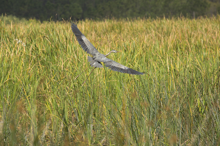 Great blue heron, Ardea herodias, flying out of cattails at Orlando Wetlands Park in Christmas, Florida, with big wings outspread. Imagens