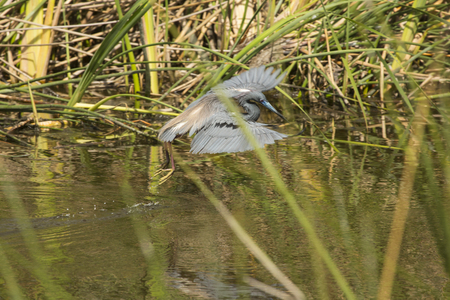 Tricolored heron, Egretta tricolor, taking off in the weeds with wings outspread at Orlando Wetlands Park in Christmas, Florida. Stock Photo