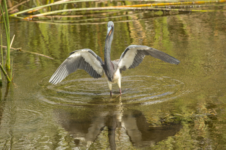 Tricolored heron, Egretta tricolor, wading in the water with wings outspread at Orlando Wetlands Park in Christmas, Florida.