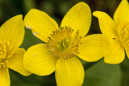 Bright yellow flowers of marsh marigold, Caltha palustris, in wetlands at Valley Falls Park in Vernon, Connecticut.