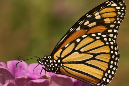 Adult monarch butterfly, Danaus plexippus, order Lepidoptera, with its wings folded on a pink Dahlia flower in East Windsor, Connecticut.