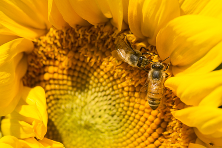 Closeup of two Western honey bees, Apis mellifera, foraging for nectar on the spirally arranged disk flowers of a giant sunflower in East Windsor, Connecticut.