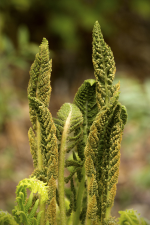 Fertile fronds of the cinnamon fern, Osmunda cinnamomea, at the edge of woods in Mt. Sunapee State Park in Newbury, New Hampshire. Stock Photo