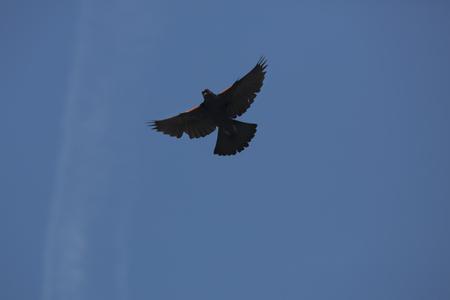 Redwing blackbird, Agelaius phoeniceus, dans l'affichage de la menace territoriale contre un ciel bleu à la zone de gestion de la faune de Belding à Vernon, Connecticut. Banque d'images