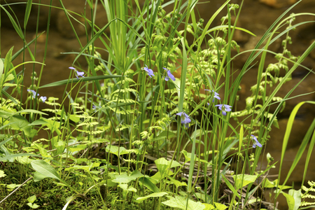 Violets, ferns, and sedges on the banks of the Sugar River in Newport, New Hampshire. Stock Photo