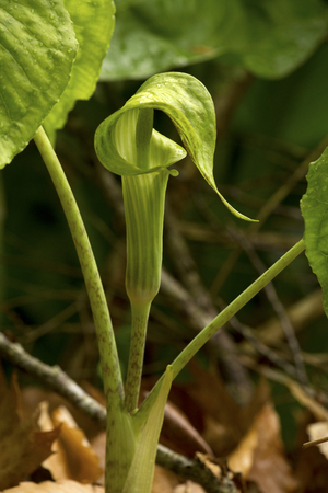 Jack-in-the-pulpit flower, Arisaema triphyllum, at the edge of a swamp in Northwest Park, Windsor, Connecticut.
