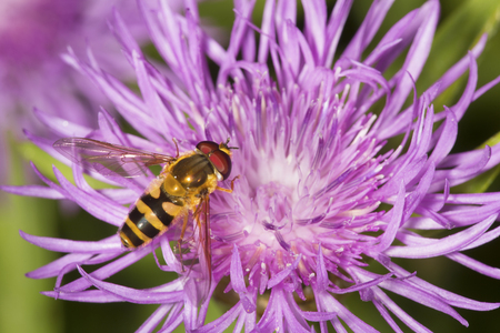 Closeup of a hover fly pollinator, a bee mimic, on a lavender bergamot flower, Monarda fistulosa, at Mt. Sunapee State Park in Newbury, New Hampshire.