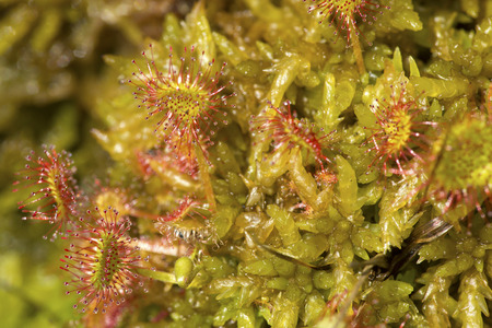 Closeup of sundew leaves, Drosera rotundifolia, with sticky hairs in the peat mosses of a bog on Mt. Sunapee in Newbury, New Hampshire.