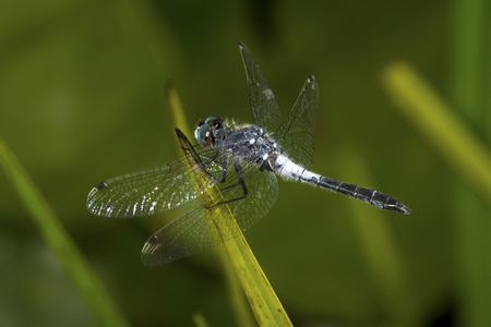 Blue dasher dragonfly, Pachydiplax longipennis, on a twig in the Esther Currier Wildlife Management Area in New London, New Hampshire.