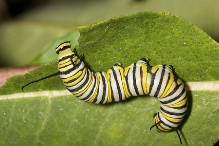 Caterpillar of a monarch butterfly, Danaus plexippus, on a common milkweed leaf with bite marks, Asclepias syriaca, in South Windsor, Connecticut. 스톡 콘텐츠