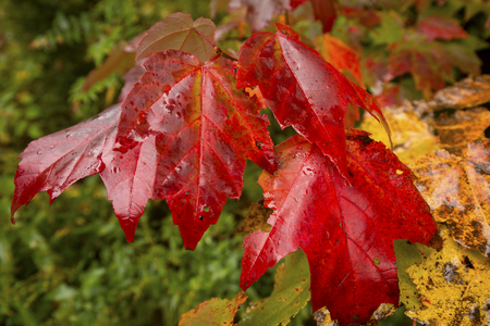 Red fall foliage of a red maple tree seedling, Acer rubrum, in the great north woods of Carrabassett Valley, Maine.