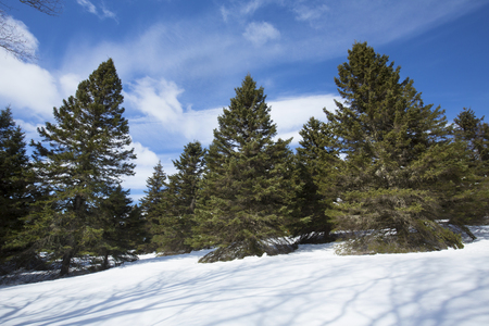 White pine trees in the open are fully branched to the base in snow near Rangeley, Maine in early spring.
