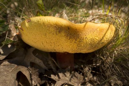 Closeup of the underside of a large orange bolete mushroom at the John Hay National Wildlife Refuge in Sunapee, New Hampshire.