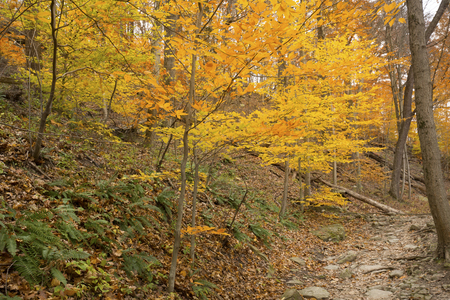 Golden fall foliage along a trail in late autumn woods of Cuyahoga Valley National Park near Cleveland, Ohio. Stock Photo