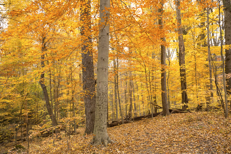 Golden fall foliage in late autumn woods of Cuyahoga Valley National Park near Cleveland, Ohio.