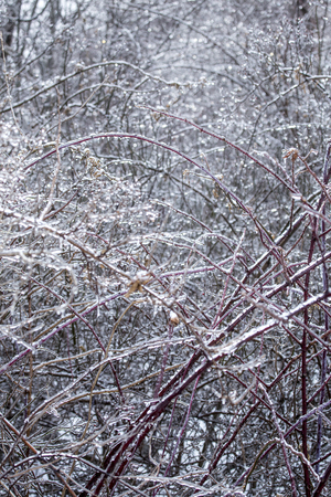 Ice coats blackberry thorns in a meadow following an ice storm in East Windsor, Connecticut.