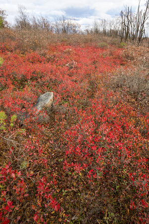 Bright red, late fall foliage of blueberry bushes in the heath barrens of the Eales Preserve on Moosic Mountain in Lackawanna County, Pennsylvania. 免版税图像