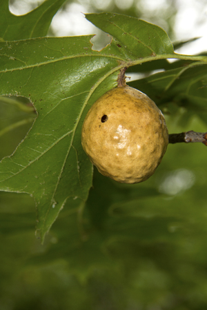 Oak apple gall, made by the tree's response to wasp larvae, on the branch of an oak tree at Nickerson State Park in Brewster, Massachusetts. 版權商用圖片