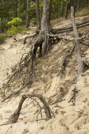 Tree roots stabilize the sand dunes on the shore of Cliff Pond, at Nickerson State Park on Cape Cod in Brewster, Massachusetts. 免版税图像