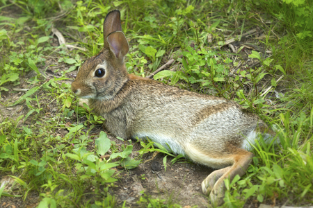 New England cottontail rabbit, Sylvilagus transitionalis, with black tipped ears, in the grass at the Donnelly Preserve in South Windsor, Connecticut. Reklamní fotografie