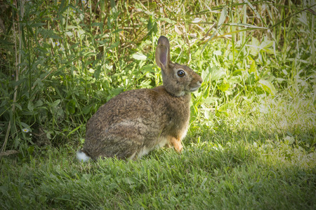 New England cottontail rabbit, Sylvilagus transitionalis, with black tipped ears, in the grass at the Donnelly Preserve in South Windsor, Connecticut.
