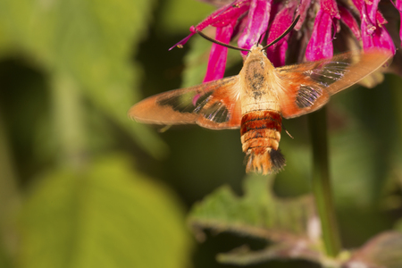 Hummingbird moth, Hemaris thysbe (Sphingidae), foraging for nectar at a red bergamot flower, Mondarda didyma, at the Donnelly Preserve in South Windsor, Connecticut. Stock Photo