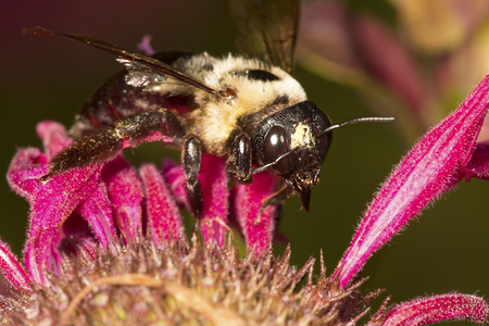 Bumble bee, Bombus sp., (Hymenoptera) foraging for nectar at a red bergamot flower, Mondarda didyma, at the Donnelly Preserve in South Windsor, Connecticut. Фото со стока - 115784740