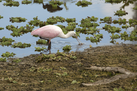 Roseate spoonbill, Platalea ajaja, foraging with its flattened bill, in the hyacinths of a swamp at Orlando Wetlands Park in Christmas, Florida. Banco de Imagens