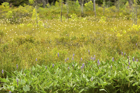 Pickerel weed, Pontederia cordata, blooming at the edge of a bog at Mud Pond in Sunapee, New Hampshire. Stock Photo