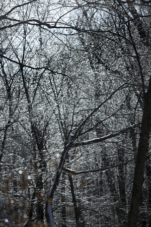 Dark branches of trees coated by an ice storm in the woods at Valley Falls Park in Vernon, Connecticut in winter. 스톡 콘텐츠