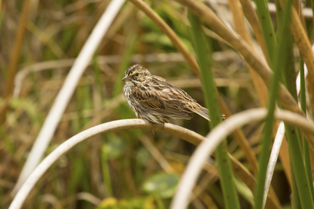 Savannah sparrow, Passerculus sandwichensis, perched on a cattail reed in a swamp at Orlando Wetlands Park in Christmas, Florida.