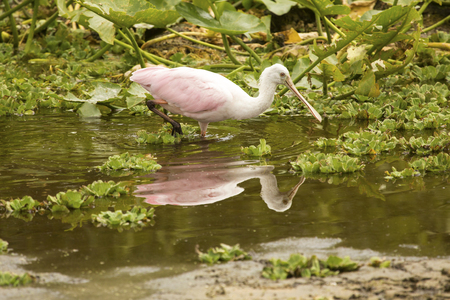 Juvenile roseate spoonbill, Platalea ajaja, stands among water lettuce plants, Pistia stratiotes, in a swamp with reflections at Orlando Wetlands Park in Christmas, Florida.