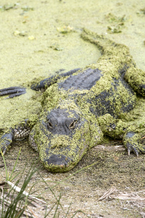 Big alligator, Alligator mississippiensis, covered with duckweed plants on the shore of a swamp at Orlando Wetlands Park in Christmas, Florida. Imagens