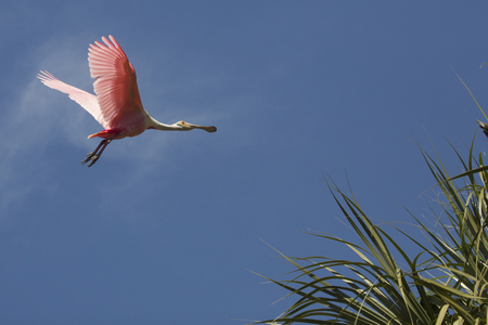 Roseate spoonbill, Platalea ajaja, soaring with wings outstretched above tropical foliage of a swamp in St. Augustine, Florida.
