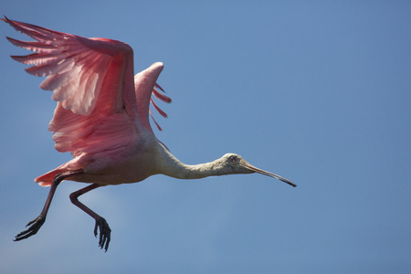 Roseate spoonbill, Platalea ajaja, taking off from a tree above a swamp in St. Augustine, Florida.