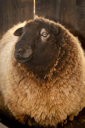 Domestic ram, Ovis aries, at a barn in East Windsor, Connecticut, in early March just before lambing season. 写真素材