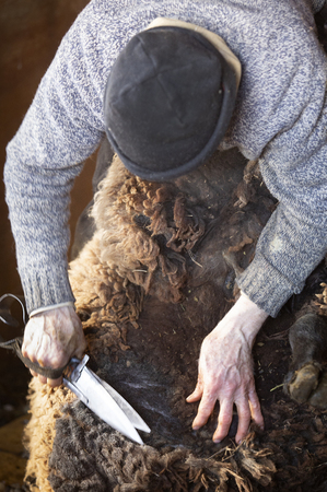 Experienced, professional  sheep shearer manually  shearing a ram with steel bladed shears at a barn in East Windsor, Connecticut, in early March just before lambing season.