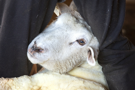 Experienced, professional  sheep shearer manually  positioning a ewe at a barn in East Windsor, Connecticut, in early March just before lambing season.