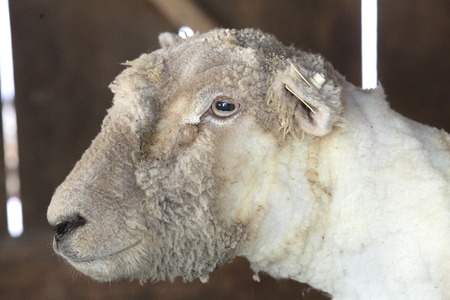 Headshot of domestic sheep, Ovis aries, freshly shorn for its wool at a barn in East Windsor, Connecticut, in early March just before lambing season.