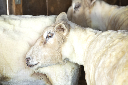 Small flock of domestic sheep, Ovis aries, freshly shorn for their wool at a barn in East Windsor, Connecticut, in early March just before lambing season.